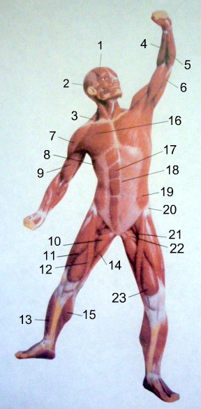 Dance anatomy: Anterior view of muscles