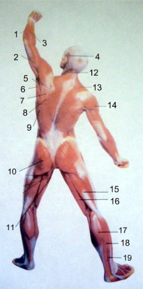 Dance anatomy: Posterior view of muscles